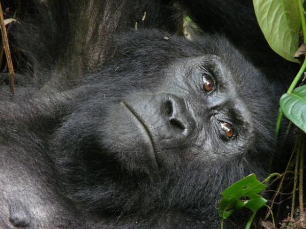 mountain gorilla conservation efforts