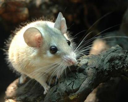 Mouse (Photo by Auyelbekov/Creative Commons via Wikimedia)