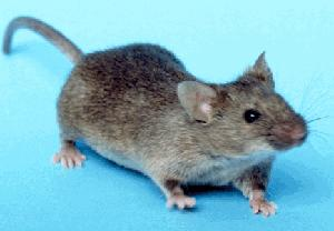 Mouse (Public Domain Image)