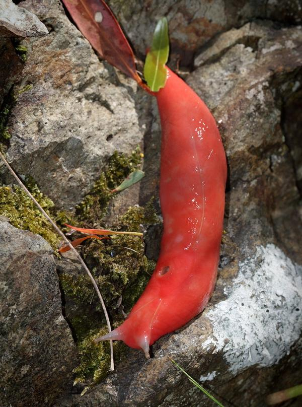 Giant Pink Slugs Survive Australia's Catastrophic Bush Fires