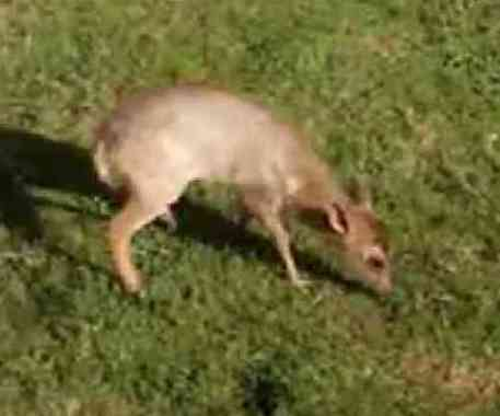 Baby Muntjac (You Tube Image)