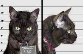 Feline Felon Unlikely Suspect In Attempted Murder Investigation