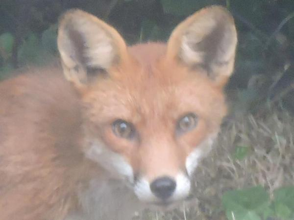 Fox in Dublin, Ireland