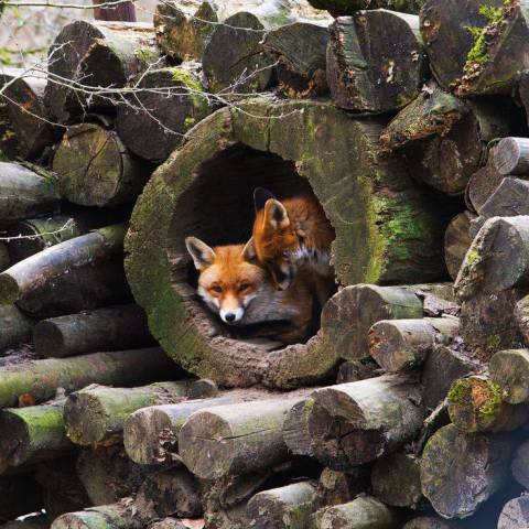 Foxes in Den (Image via Nature Gallery)