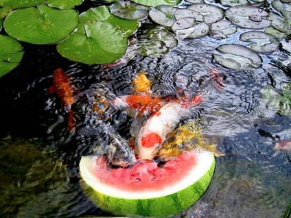 Koi Pond Feeding Frenzy (Image via Nature Gallery)