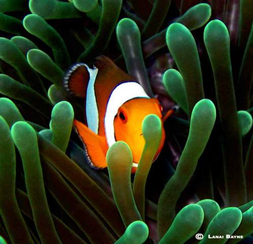 Clownfish (Image via Lanai Bayne Photography)