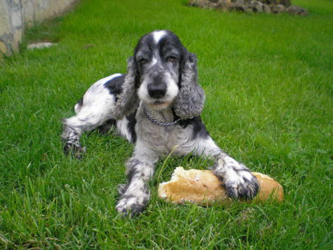 Black and White Cocker Spaniel (Photo by MaitaneGonzalez/Creative Commons via Wikimedia)