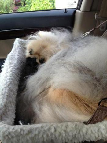 Noki the Pekingese is comfy in his car seat
