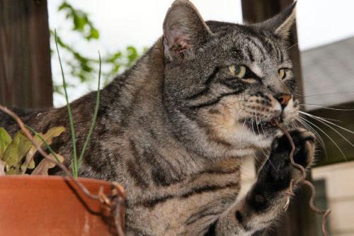 do siberian cats scratch furniture