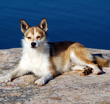 The Norwegian Lundehund: image via westminsterkennelclub.org