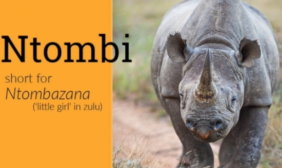 Ntombi, a black African rhino whose genome was sequenced to make synthetic rhino horn
