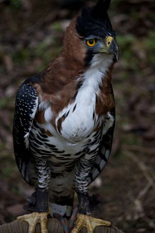 Ornate Hawk-Eagle (Photo by Nellu Mazilu/Creative Commons via Wikimedia)