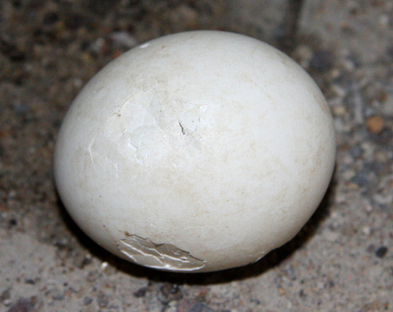 Great Horned Owl egg: (Photo by Kansas City District /Creative Commons via Flickr)