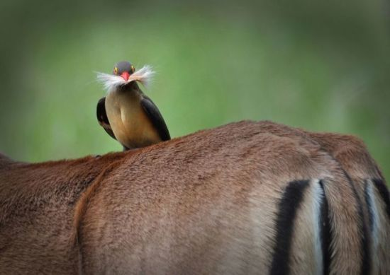 Oxpecker: Barrie Walsh, Photographer