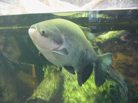 Pacu Fish at the Shedd Aquarium (Photo: Omnitarian/GNU via Wikimedia)