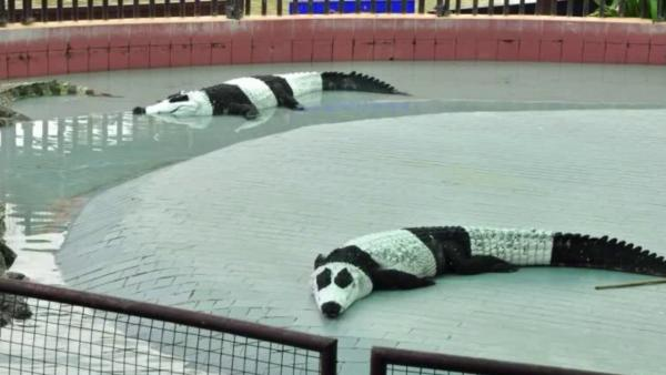 crocodiles that look like pandas