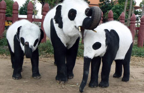 elephants look like pandas