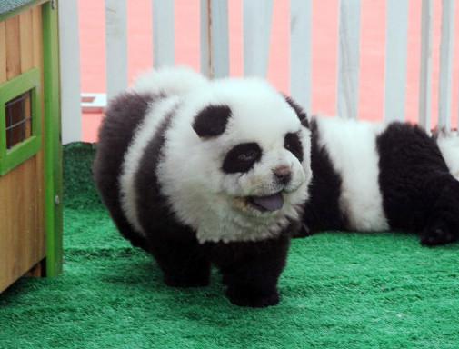 Panda Dog (You Tube Image)