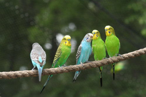 Budgies Make Great Pets for Kids: Singing indicates happiness within groups of parakeets