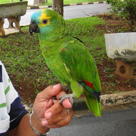 Blue-Fronted Amazon Parrot (Photo by papagaio parque ceret/Creative Commons via Wikimedia)