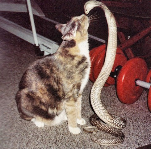 Cat and Cobra (Image via Paz)