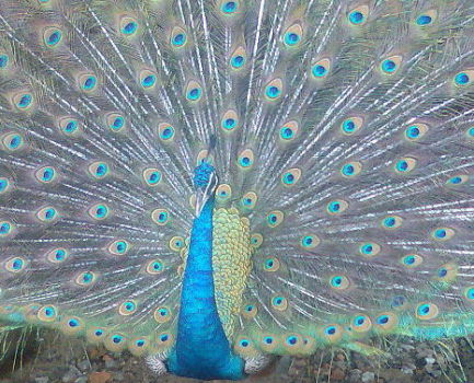 Peacock (Photo by Abuamju/Creative COmmons via Wikimedia)