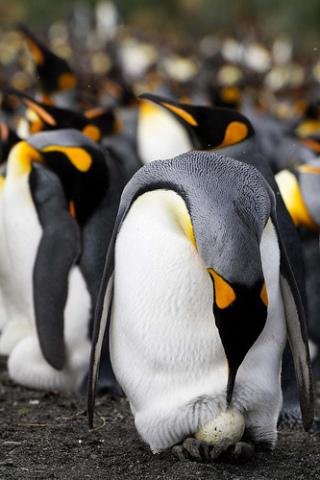 Emperor Penguin egg: (Photo by MuddyBones /Creative Commons via Flickr)