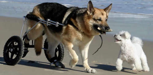 Dog wheelchairs are available for dogs with degenerative myelopathy and other diseases and injuries that can prevent dogs from n