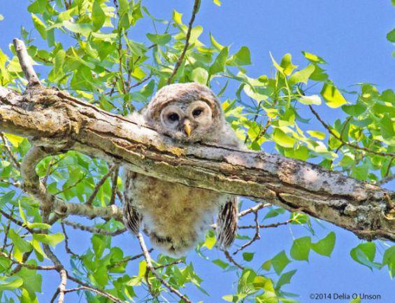Barred Owl (Image via Pinterest/Photo by Delia O. Unson))