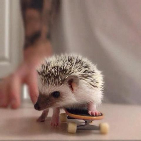 Hedgehog on a Skateboard (Image via Pinterest)