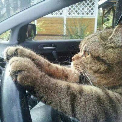 Driving Cat (Image via Pinterest)