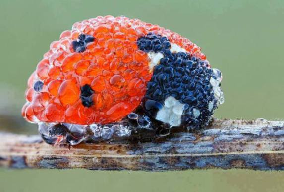 Ladybug Covered in Dew (Image via Facebook)