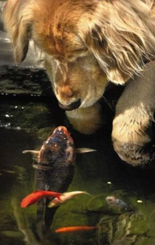 Dog Visiting Koi Pond (Image via Pinterest)