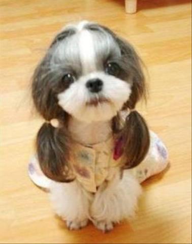 Dog in Pigtails (Image via Facebook)