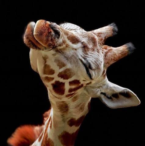Kissing Giraffe (Image via The Rainforest Site)