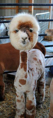 Shorn Llama (Image via Pinterest)