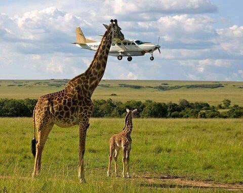 Giraffe Attacks Small Plane (Image via Green Renaissance)