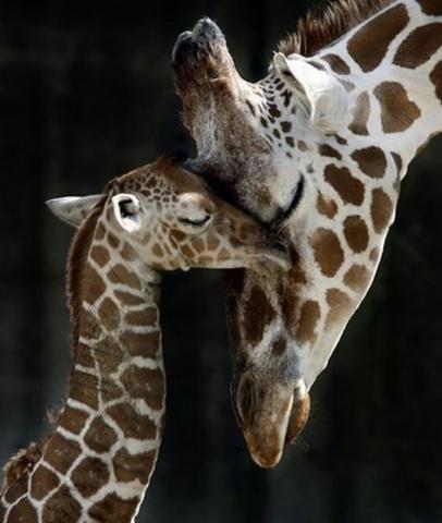 Giraffes (Image via Pinterest)