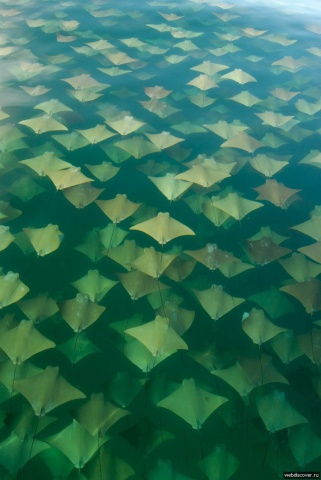 Golden Ray Migration (Image via Pinterest)