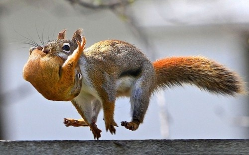 Red Squirrel Carries Baby (Image via The Animal Blog)