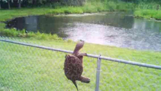 Turtle Climbing a Fence (Image via Facebook)