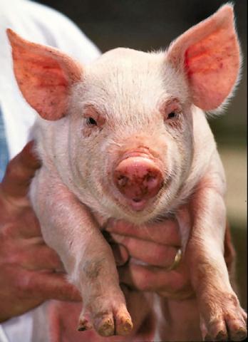 Pig (Public Domain Image)
