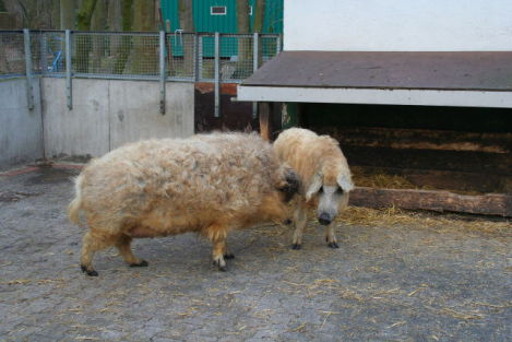 Mangalitsa Pigs (Photo by A.Savin/Creative Commons via Wikimedia)