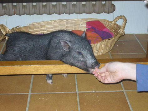 Pot-Bellied Pig (Photo by Drow_male/Creative Commons via Wikimedia)
