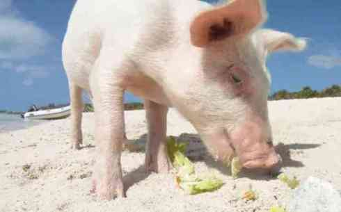 Pig on Pig Island in the Bahamas (You Tube Image)