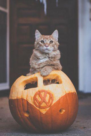 Cat in a VW Pumpkin (Image via SkunkWire)