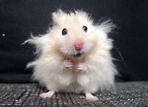 Hamster Bad Hair Day (Image via Pinterest)