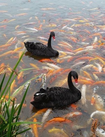 Swans on a Koi Pond (Image via Pinterest)