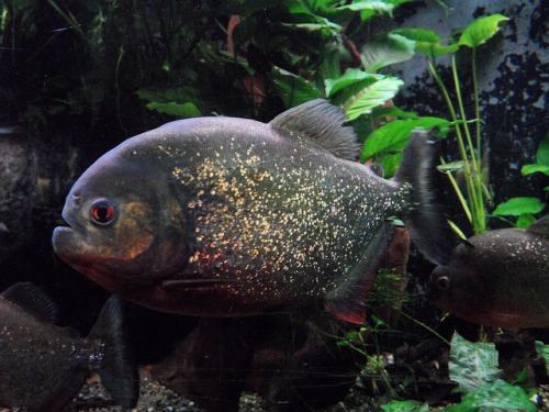 70+ People Bitten By Piranhas In Argentinean Rivers! | Petslady com