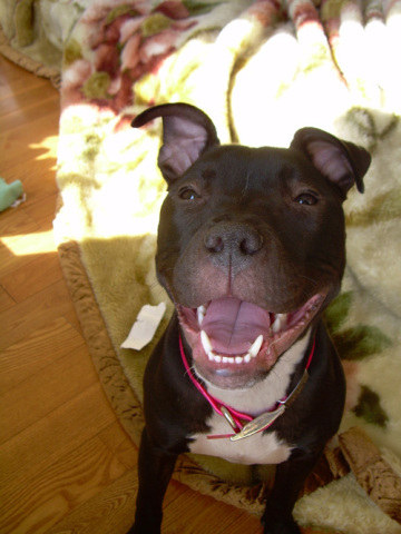 American Pit Bull Terrier (Photo by Kennethhung/Creative Commons via Wikimedia)